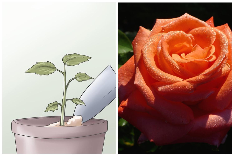 вырастить розу из букета в домашних условиях